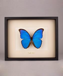 Motyl dekoracyjny Morpho Didius
