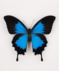 Motyl dekoracyjny Papilio Ulysses